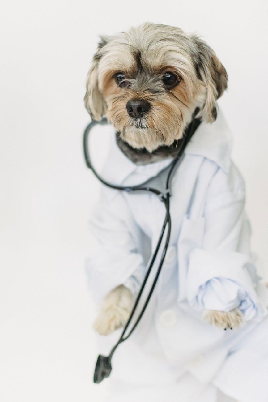 little dog in medical uniform in light studio
